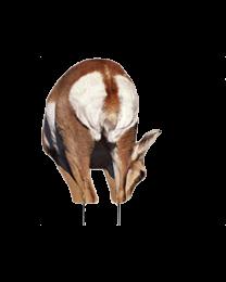 Montana Decoy Antelope Doe