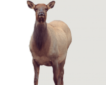 New Montana Decoy Eichler Elk Decoy