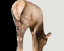 New Montana Decoy Miss September Elk Decoy